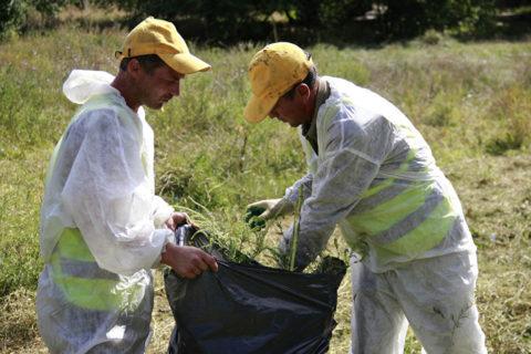 Массовым уничтожением амброзии занимаются специальные службы фитосанитарного надзора