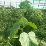 Мульча из только что скошенной газонной травы