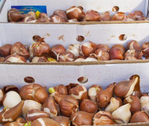 Отсортированные по размерам луковицы