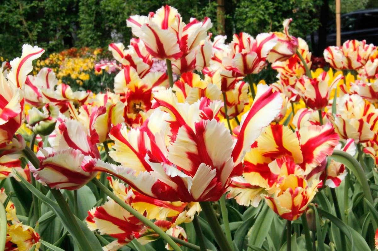 Как хранить луковицы тюльпанов до посадки – подготовка и необходимые условия