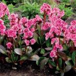 Сакура – сорт с полумахровыми цветками