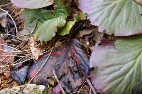 Старые листья зимой защищают корни от вымерзания