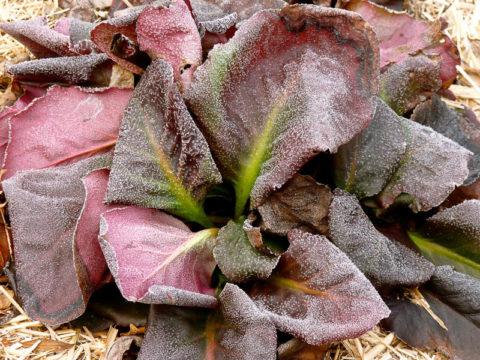 Так растение выглядит после заморозков