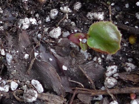 В пищу используют прошлогодние листья, прошедшие естественную ферментацию