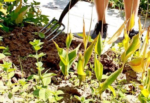 Вилами сложнее повредить или разрезать луковицы