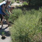 Выдергивать и выкапывать сорняк имеет смысл только при локальном или единичном произрастании