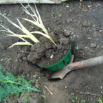 Выкапывание тюльпанов с посадочной корзиной