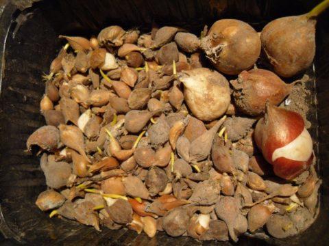 Выкопанные луковицы тюльпанов
