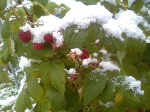 Эта малина может плодоносить вплоть до заморозков
