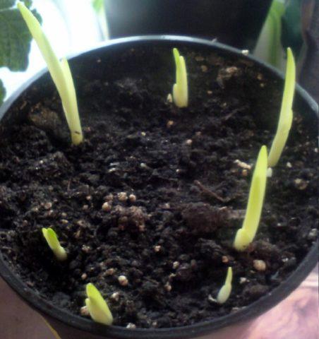 Как только позволит погода, проросшие луковицы можно пересадить в открытый грунт