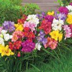 Клумба из разноцветных фрезий, подобранных по росту