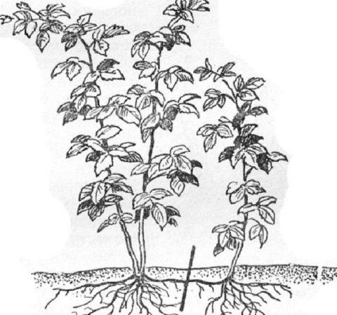 Корневой отросток отделяют от маточного растения и пересаживают
