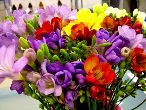 Нежные и ароматные цветы фрезии великолепны в букете