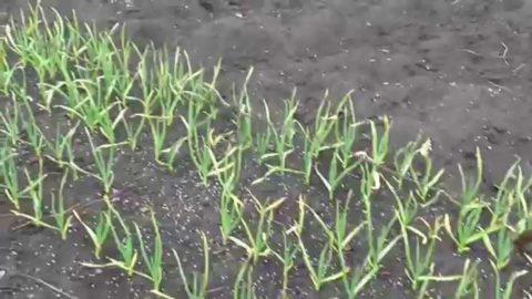 Озимый чеснок ранней весной