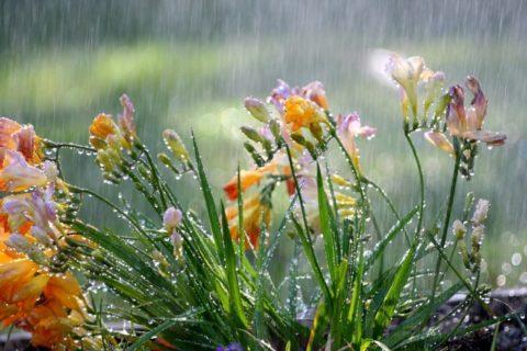 Поливать растения лучше дождеванием