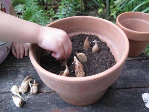 Посадка луковиц на проращивание