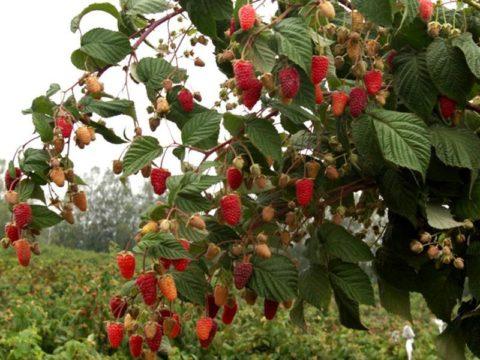 Ремонтантная малина дает обильный урожай в конце лета и осенью