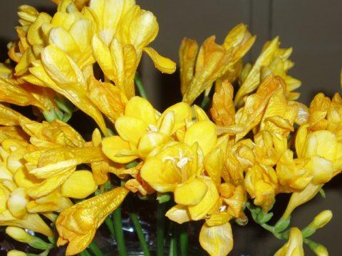 Увядающие цветы отнимают силы у бутонов и вредят декоративности кустов