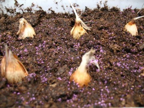 В южных регионах луковицы можно сразу высаживать в грунт
