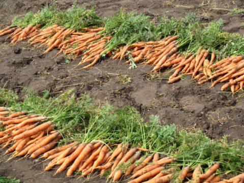 Выкопанный урожай