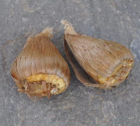 Здоровые луковицы фрезии