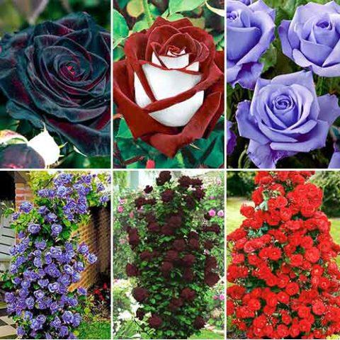 Чайно-гибридные и плетистые розы