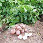 Ежегодная посадка ржи на картофельном поле позволяет стабильно получать хороший урожай