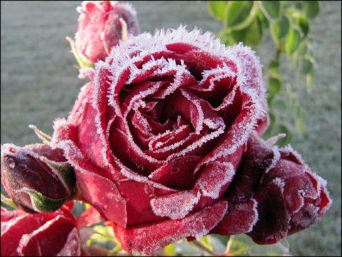 Роза на морозе