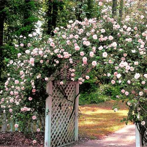 Роза плетистая Нью Доун