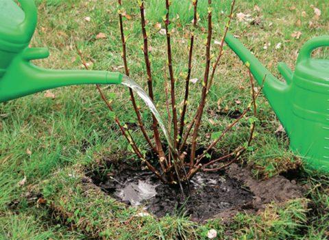 Без полива в сухую погоду растение не приживется