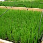 Дружные весенние всходы озимого лука, выращиваемого на перо