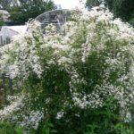 Мелкоцветковый белый
