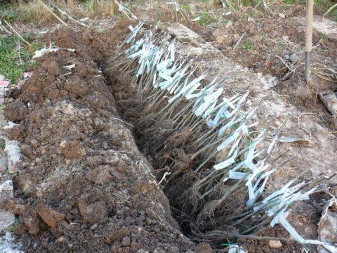 Саженцы прикапывают под наклоном