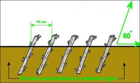 Схема посадки черенков