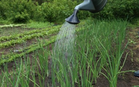 В сухую погоду полив обязателен