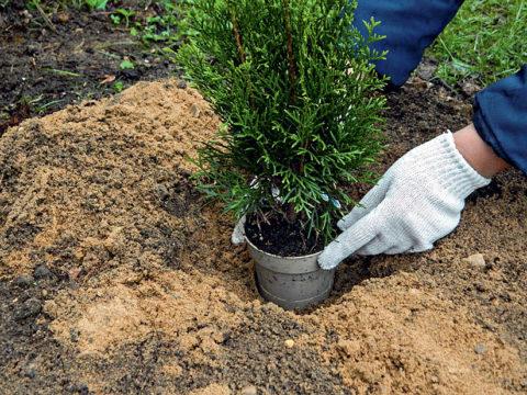 Параметры посадочной ямы подбираются в соответствии с размерами корневой системы