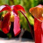 Цветок саррацении