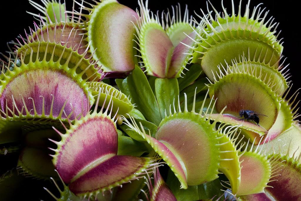 Растения хищники картинками