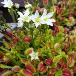 В конце весны – начале лета мухоловка цветет красивыми белыми цветами на длинном цветоносе