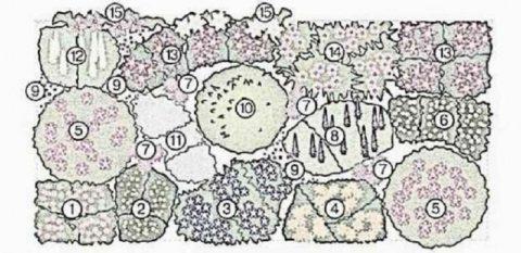 Схема размещения многолетников в миксбордере