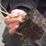 К моменту высадки в грунт саженцы уже имеют развитые корни