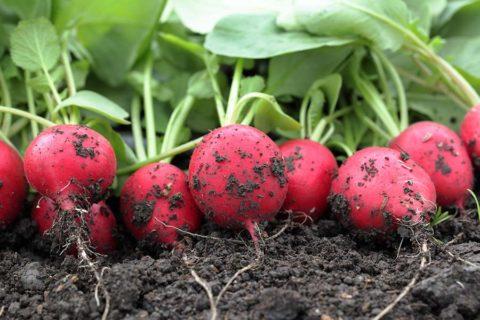 Редис – самый ранний корнеплод