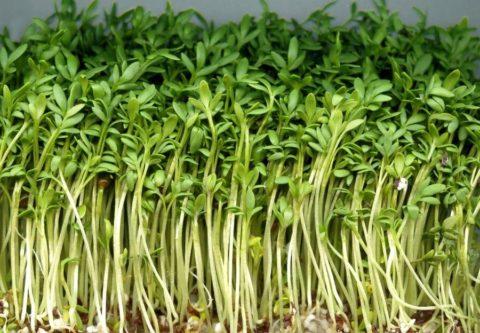 Семена прорастают в любой влажной субстанции, даже в опилках или вате