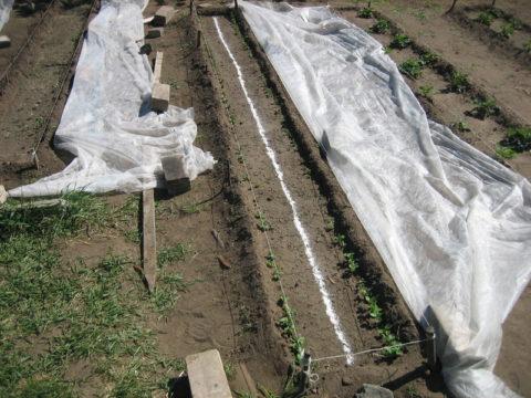 Выращивание под пленкой ускорит появление всходов