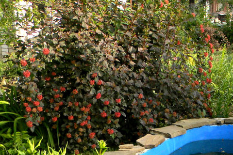Название кустарнику дали его плоды, похожие на пузырьки