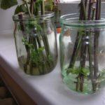 Раствор Корневина стимулирует рост корней
