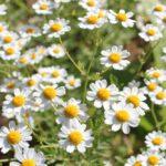 Ромашка может стать украшением аптекарского огорода