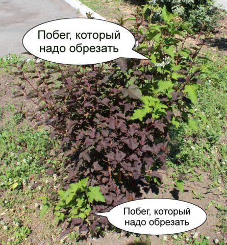 Сортовые пузыреплодники иногда отращивают ветки с зелеными листьями
