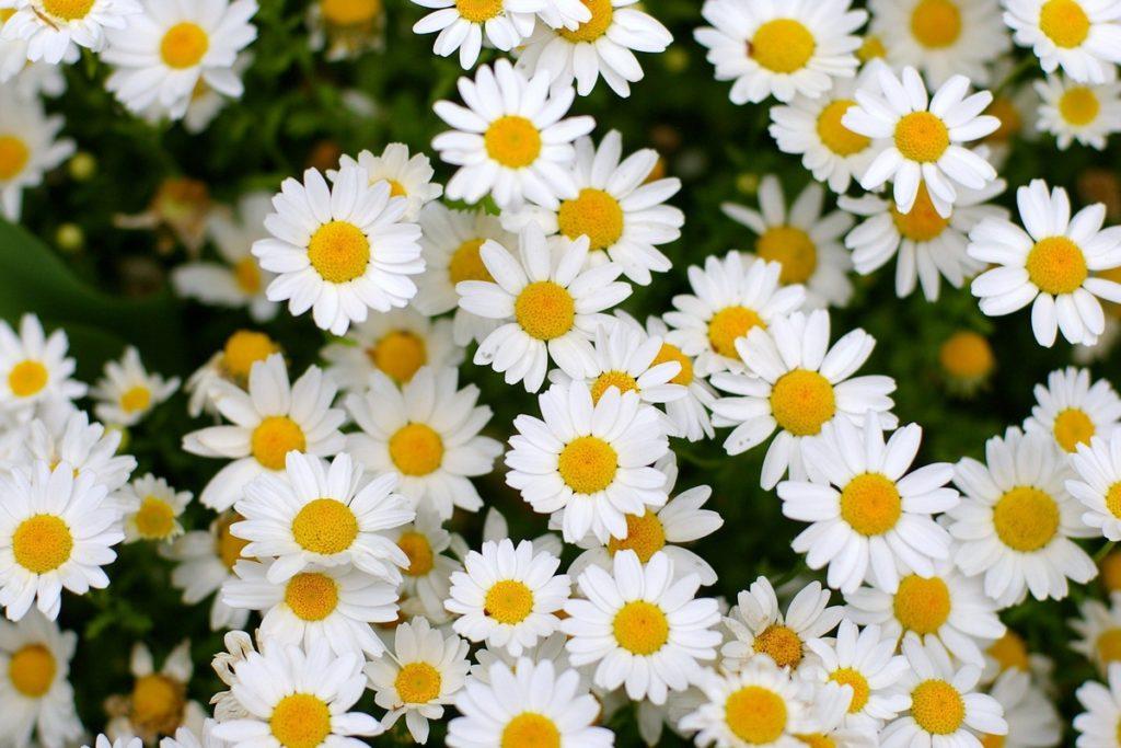 Цветы, которые похожи на ромашки